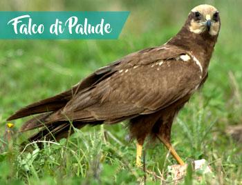 latinamipiace_lago-di-fondi_falco-di-palude