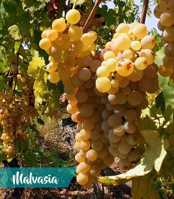 uva-malvasia-vino-Velletri-Doc-provincia-latina-latinamipiace