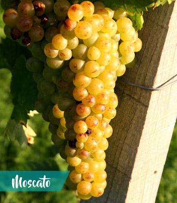 uva-moscato-vino-terracina-latinamipiace