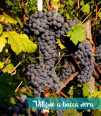 vitigni-bacca-nera-vino-castelli-romani-doc-provincia-latina-latinamipiace