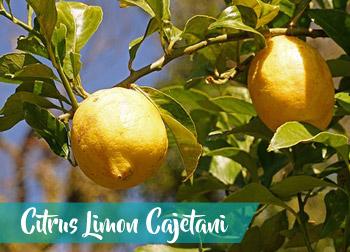 trombolotto-sermoneta-limone-selvatico-Citrus-Limon-Cajetani-sapori-latinamipiace